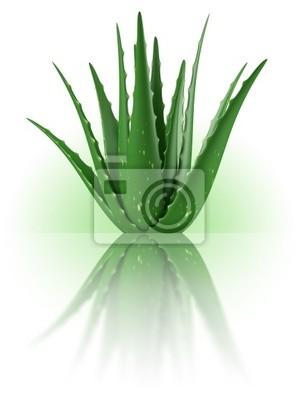 Fabryka d'Aloe Vera sur fond blanc 3