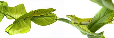 Naklejka Felsuma Madagaskarska - Gecko izolowana na białym tle