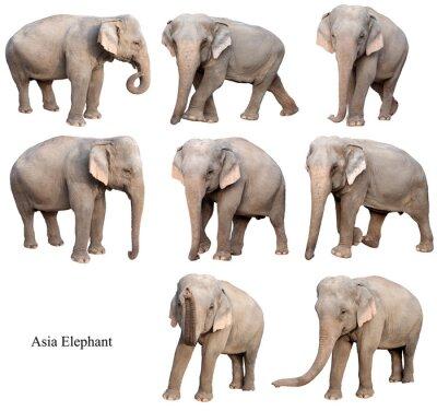 Naklejka female asia elephant isolated