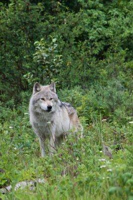 Naklejka Female grey wolf in an open meadow near Golden, British Columbia