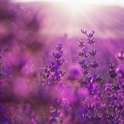 Naklejka field lavender flowers