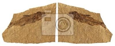 Fish Fossil wapień Bolca - Verona - Włochy