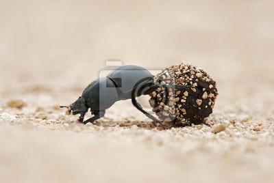 Naklejka Flightless Dung Beetle, Circellium bacchus, rolka łajna łajna, Park Narodowy Addo Elephant, Republika Południowej Afryki