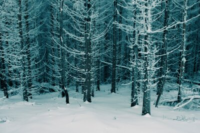 frozen pine trees in cold winter forest landscape