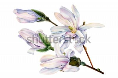 Naklejka gałąź wiosennych kwiatów magnolii na na białym tle, akwarela, malarstwo botaniczne