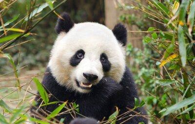 Naklejka Giant Panda jedzenie bambusa, Chengdu, Chiny