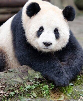 Naklejka Giant Panda pozowanie do aparatu, Chengdu, Syczuan, Chiny
