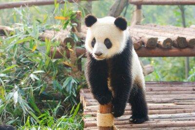 Naklejka Giant Panda zaciekawieniem stojąca, Chengdu, Syczuan, Chiny