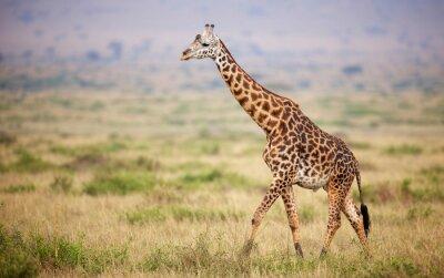 Naklejka Giraffe walking in Kenya