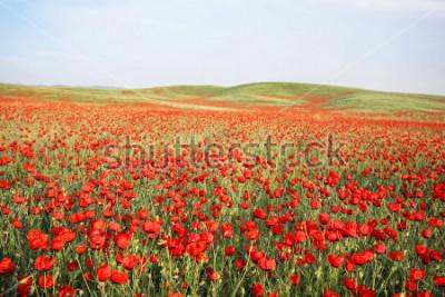 Naklejka green and red beautiful poppy flower field background