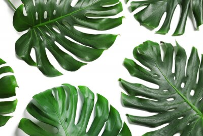 Naklejka Green fresh monstera leaves on white background, top view. Tropical plant
