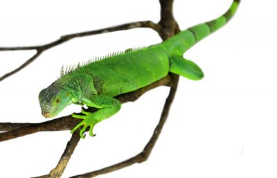 Naklejka Green Iguana isolated on white with clipping path