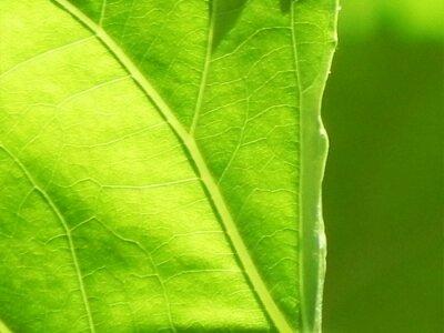 Green leaf texture natural background, Leaf in the Park