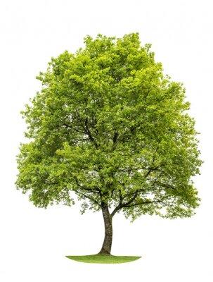 Naklejka Green oak tree isolated on white background. Nature object