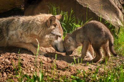 Naklejka Grey Wolf (Canis lupus) Matka i Pup dotykowy Poza Den