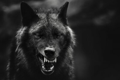 Naklejka Greyscale closeup shot of an angry wolf with a blurred background