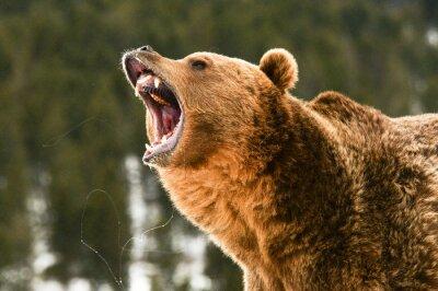 Naklejka Grizzly Bear