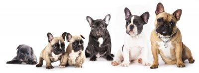 Naklejka Grupa Francuski Bulldogs wszystkie grupy wiekowe przed białym tle