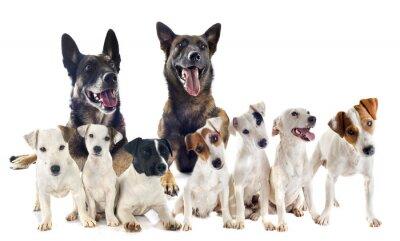 Naklejka grupa Jack Russel Terrier i malinois
