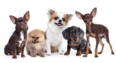 Naklejka grupa małych dekoracyjnych towarzyszami psów