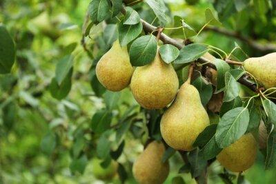 Naklejka Gruszki na drzewie w ogrodzie owocowym