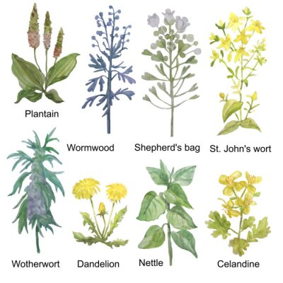 Naklejka Hand-drawn watercolor medicinal forest and meadow herbs. Plantain, wormwood, shepherd's bag, St. John's wort, motherwort, dandelion, nettle and celandine isolated on white background.