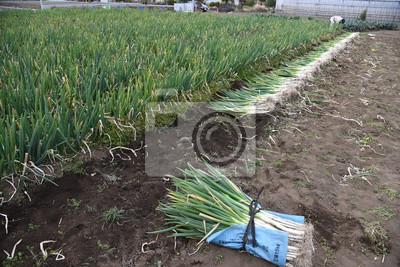 Naklejka Harvesting Japanese leek