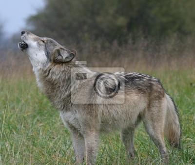 Naklejka Howling Wolfa