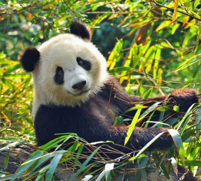 Naklejka Hungry giant panda bear jedzenia bambusa