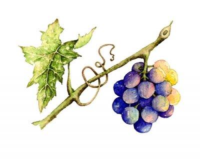 Naklejka Ilustracja akwarela winogron