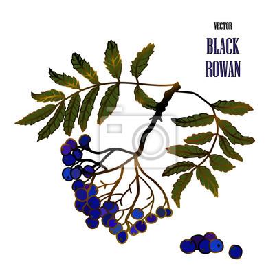Ilustracja z czarnym jarzębiny