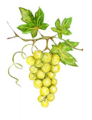 Naklejka Ilustracja - zielone winogrona