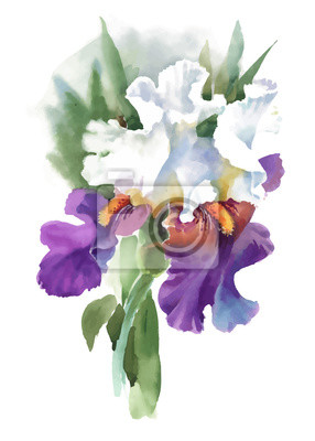 Ilustracyjny akwarela irysa kwiat odizolowywający na białym tle.