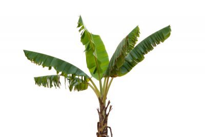 Naklejka Isolated banana tree on white background.