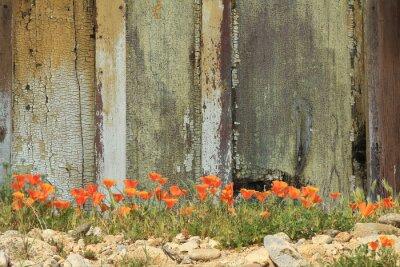 Naklejka Jasne pomarańczowe Kalifornia maki rosnące obok wyblakły drewniany płot.