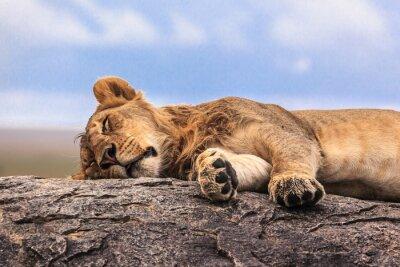 Naklejka Jedna lwica spania na skale w Serengeti NP, Tanzania, Afryka