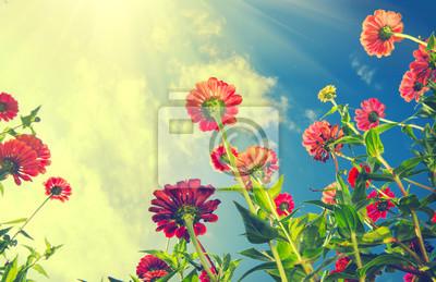 Jesienne kwiaty na błękitnym niebie. Zinnia kwiat