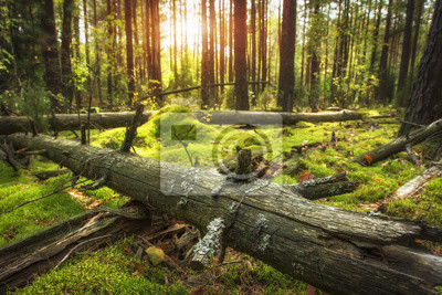 Jesienny krajobraz lasu. Jasne słońce w pięknym lesie. Ziemia pokryta zielonym mchem. Stary suchy drzewo w zielonym lesie. Niesamowity las w złotym słońcu.