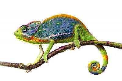 Naklejka kameleon