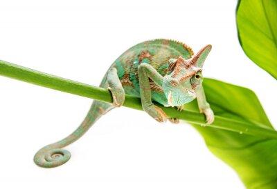 Naklejka Kameleon jemeński, mężczyzna, samodzielnie na białym tle