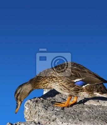 Kobieta Kaczka krzyżówka z kamienia i niebieskim tle nieba