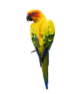 Naklejka Kolorowe Sun Conure, piękny żółty ptak papuga izolowanych o