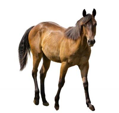 Naklejka Koń Izolowane