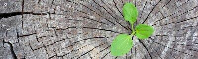 Naklejka Koncepcja ekologii. Rosnąca kiełkowa plantain starych drzew i symbolizuje walkę o nowe życie, granicy projektu panoramiczny baner.