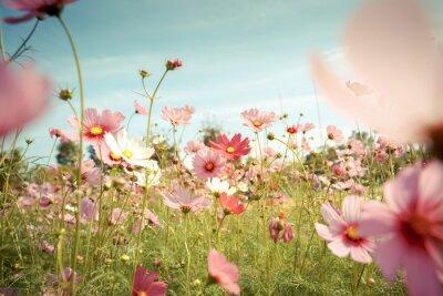 Naklejka Kosmos kwiaty w ogrodzie