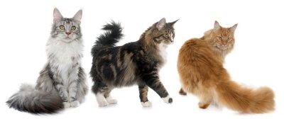 Naklejka kotów rasy Maine Coon