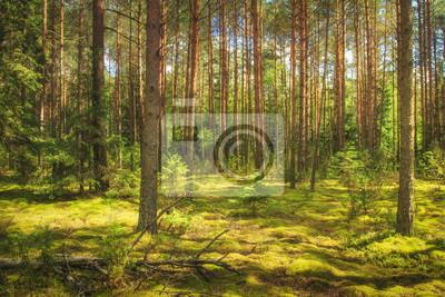 Krajobraz lasu. Zielony las lato w słońcu. Iglaste drzewa, mech na ziemi. Piękny widok lato las w słonecznym dniu.
