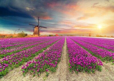 Naklejka Krajobraz z tulipanów, tradycyjnych wiatraków holenderskich i domy w pobliżu kanału w Zaanse Schans, Holandia, Europa