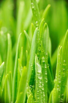 Naklejka Krople wody na trawie