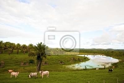 krów wypasanych w Bahia